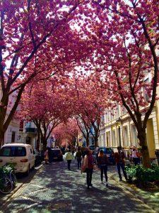 Kirschblüte in Bonn