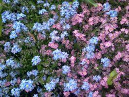 Vergissmeinicht in Blau und Rosa. Foto: Majomka via Pixabay.com, CC 0